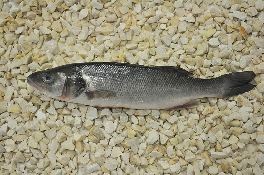 Sea bass whole 400/600, Labraks cały 400/600, Dicentrarchus Labrax, ryby, ryby morskie