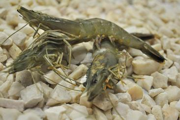 Black Tiger prawn Gamba 8/12 glaize 20%